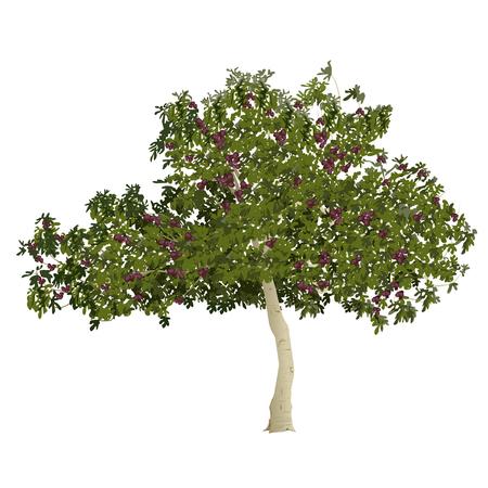 Figuier (Ficus carica) avec des fruits mûrs en été sur un fond blanc
