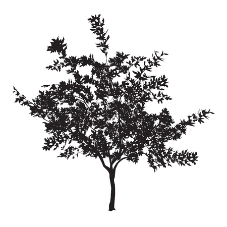 Silhouette of a young plane tree with leaves on a white background