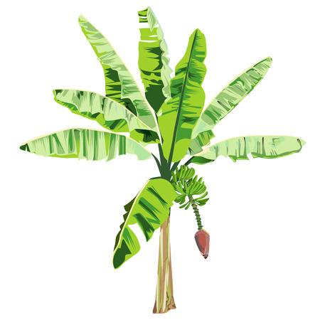 Jonge banaanboom met een bloem en vruchten in het kleuren vectorbeeld op een witte achtergrond Stock Illustratie