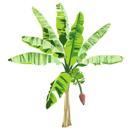 Young banana tree with a flower and fruits in the color vector image on a white background