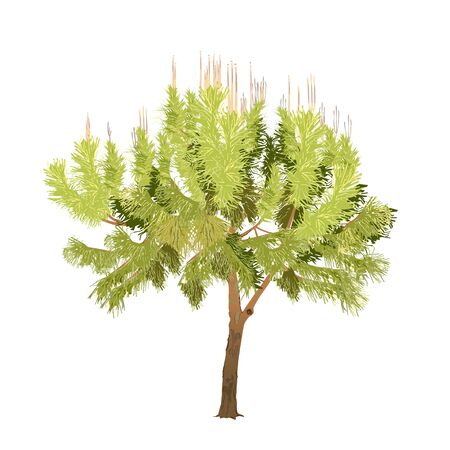 The Mediterranean pine with young escapes in the color vector image on a white background