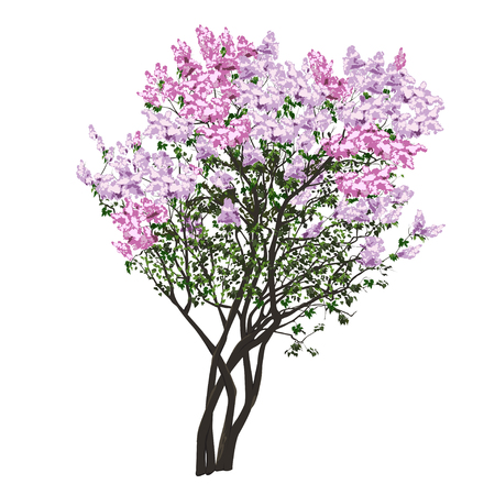 Bush of the blossoming violet ordinary lilac in the spring in the vector image on a white background