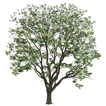 Gran árbol de un olmo con hojas en el verano, la imagen de vector de color sobre un fondo blanco