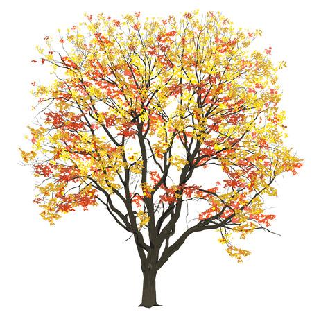 Gran árbol de un olmo con hojas en el otoño, la imagen de vector de color sobre un fondo blanco