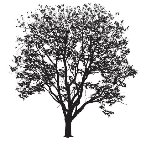 Silueta de un gran árbol de un olmo con hojas, la imagen de vector en blanco y negro sobre un fondo blanco