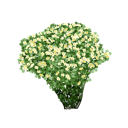 dogrose: Big bush of a dogrose (Rosa majalis) with white flowers, the color vector image on a white background Illustration