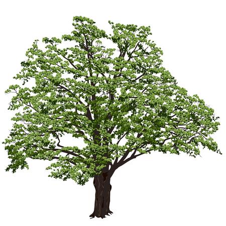 Grote eik (Quercus) met groene bladeren op een witte achtergrond in het kleuren vectorbeeld Stock Illustratie