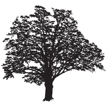 Silueta de un árbol de un roble (Quercus) con hojas, la imagen vectorial en blanco y negro Foto de archivo - 82513171
