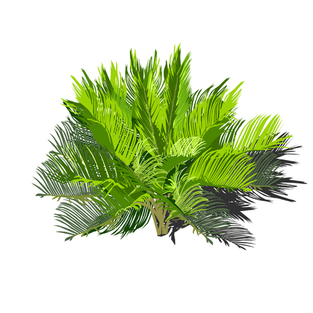 Young cycas with a shadow, the color vector image on a white background Ilustracja