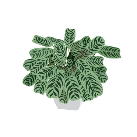 Arrowroot plant with motley leaves in a pot, the color vector image on a white background Illustration