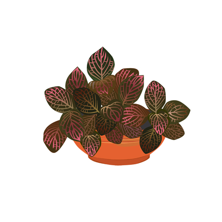 Fittonia plant with red leaves in a pot, the color vector image on a white background