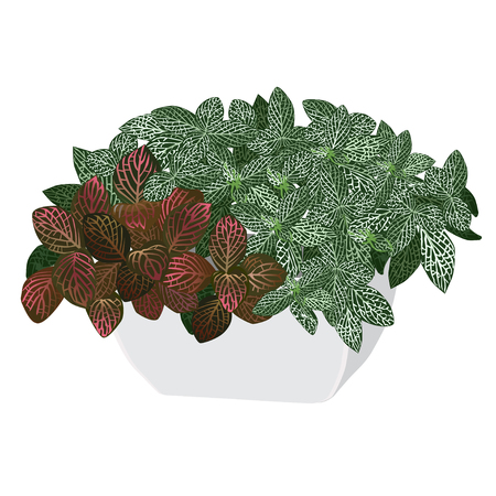 Plants fittonia silvery (Fittonia argyroneura) and Vershaffelts fittonia (Fittonia Verschaffeltii) in a pot, the color vector image on a white background