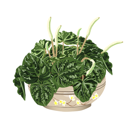 drawing room: Peperomia wrinkled (Peperomia caperata), a cachepot in style Provence, the color vector image on a white background
