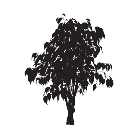 ベンジャミンのイチジク (フィカス benjamina)、シルエット、白の背景にベクトル画像  イラスト・ベクター素材