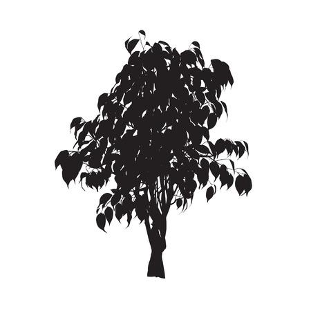 벤자민의 ficus (Ficus benjamina), 실루엣, 흰색 배경에 색 벡터 이미지 일러스트