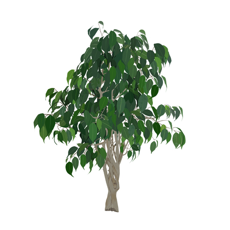 pipal: Benjamins ficus (Ficus benjamina), the color vector image on a white background Illustration