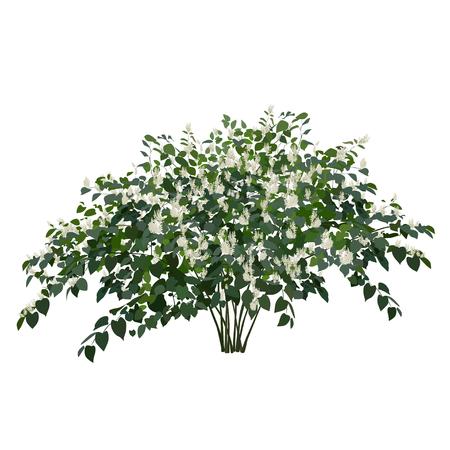 Blossoming copse buckwheat bush on a white background