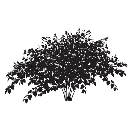 Silhouette of blossoming copse buckwheat bush on a white background