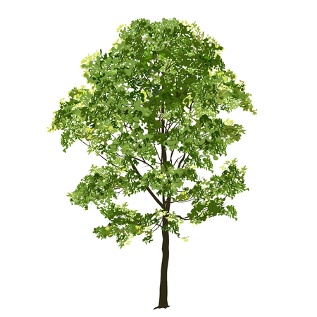 Big maple with green leaves in the summer, the color vector image on a white background