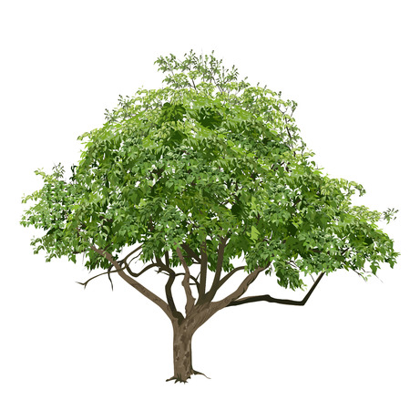 Tree with green leaves in the summer, the color vector image on a white background Illustration