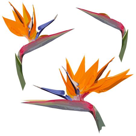 Flower of a royal strelitzia (Strelitzia reginae L.) in the color vector image on a white background