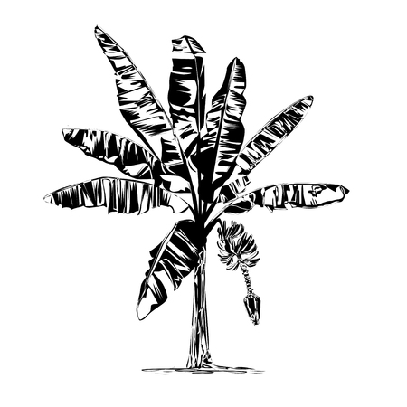 The blossoming banana, the black vector drawing on a white background