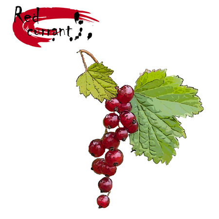 Branch of red currant (Ribes rubrum L.) with berries, the color vector drawing on a white background