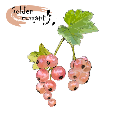 Branch of white currant (Ribes niveum L.) with berries, the color vector drawing on a white background
