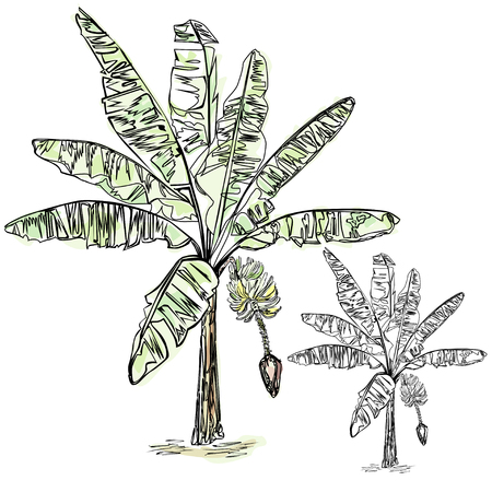 The blossoming banana, two vector drawings: the black drawing on a white background and the color drawing painted under a watercolor on a white background