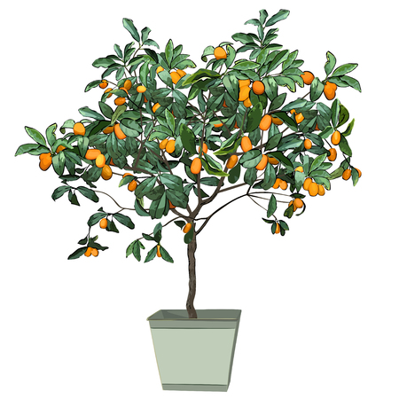 Tree a kumquat (Fortunella Swingle L.) with mature fruits, in a pot, the color vector image on a white background Çizim
