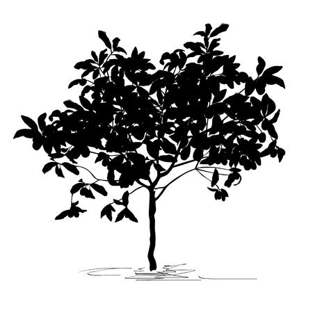 Tree silhouette a kumquat (Fortunella Swingle L.), the black vector image on a white background