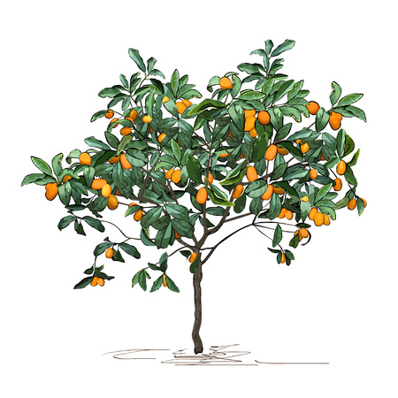 Tree a kumquat (Fortunella Swingle L.) with mature fruits, the color vector image on a white background