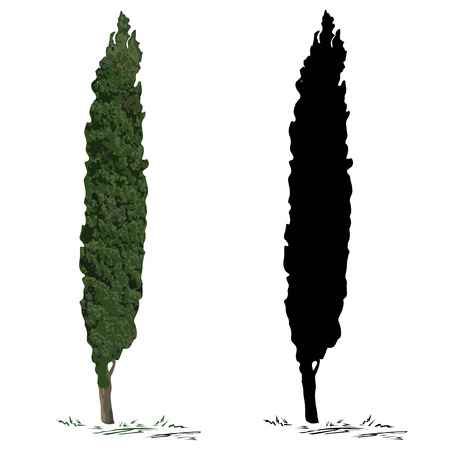 Cypress (Cupressus L.), the color vector image, and a cypress silhouette, the black vector image, on a white background