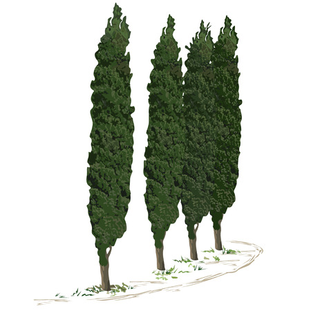 Four trees of a cypress (Cupressus L.) and a footpath along them, the color vector image on a white background