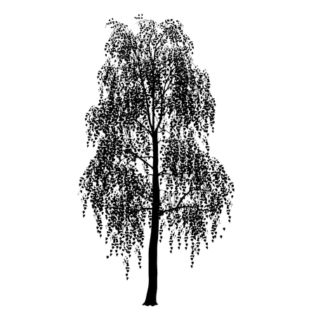 Birch silhouette (Betula L.) with foliage, the black vector image on a white background