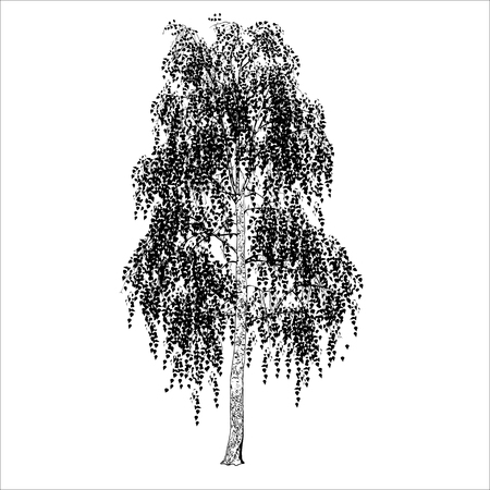 Birch (Betula L.) with leaves, the vector image in shades gray on a white background