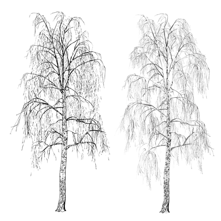 Two birches (Betula L.) without leaves, winter, the vector image in shades gray on a white background