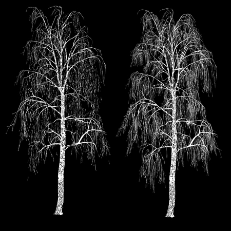 Two birches (Betula L.) without leaves, winter, the white vector image on a black background