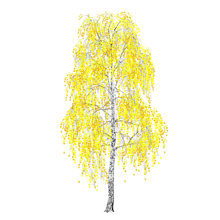 Birch (Betula L.), fall, yellow foliage, the color vector image on a white background