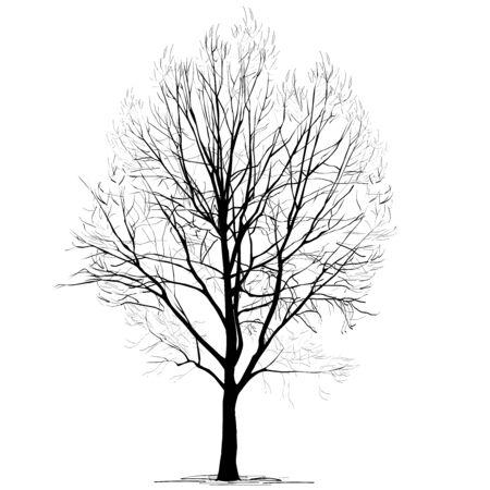Peuplier (Populus L.) silhouette sans feuillage, en hiver, l'image vectorielle en noir et blanc sur fond blanc