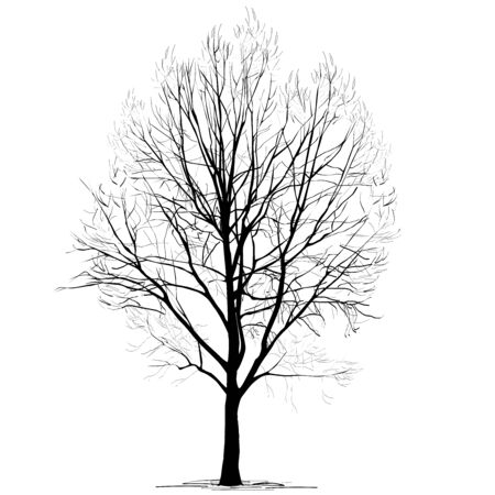 Poplar (Populus L.) silhouette without foliage, in the winter, the black-and-white vector image on a white background