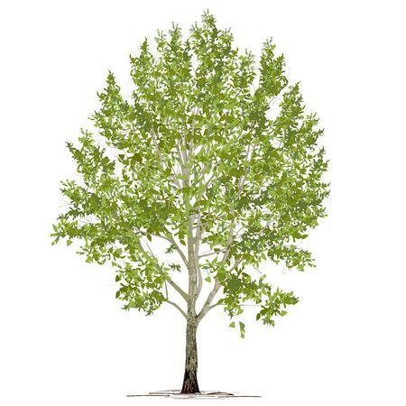 Le peuplier (Populus L.) au feuillage vert, l'image vectorielle de couleur sur fond blanc