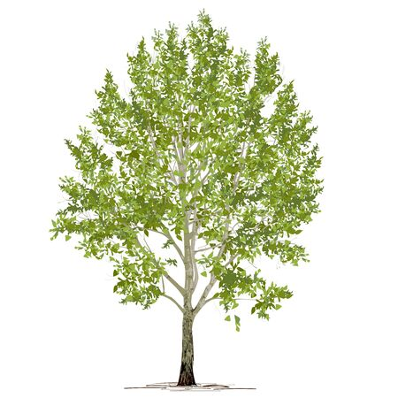Poplar (Populus L.) with green foliage, the color vector image on a white background