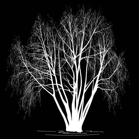 Willow silhouette (Salix alba L.) without leaves, in the winter, the white vector image on a black background Çizim