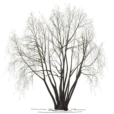 Willow (Salix alba L.) without leaves, in the winter, the color vector image on a white background