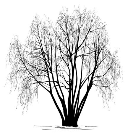 Willow silhouette (Salix alba L.) without leaves, in the winter, the black vector image on a white background