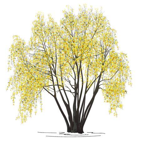 Saule (Salix alba L.) avec des feuilles jaunes à l'automne, l'image vectorielle de couleur sur fond blanc