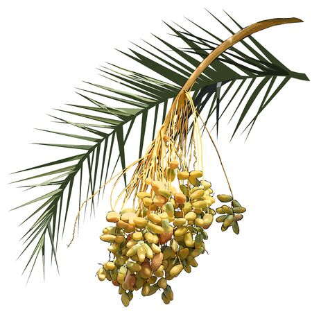 Date palm (Phoenix L.), leaf and fruit branch with fruit, colored vector image on white background