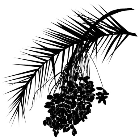 Date palm silhouette (Phoenix L.), leaf and fruit branch with fruit, black vector image on white background Çizim