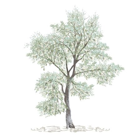 Olive, maslin (Olea europaea L.), stand-alone tree, colored vector image on white background